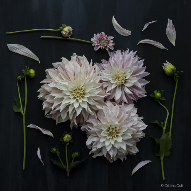 stages of a dahlia